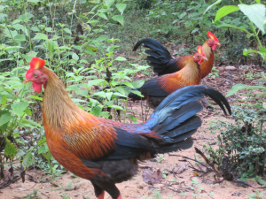 sri lankan jungle fowl