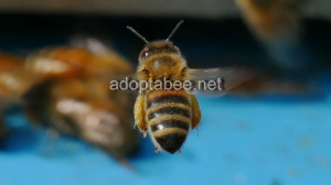 pictures - spring honey bees beekeeping 2016