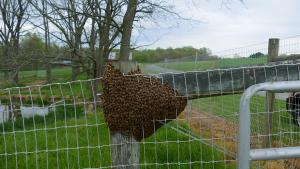honey bee swarm captured - bees beekeeping beekeeper honey beehive