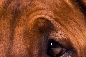 Rhodesian Ridgeback dog | Photos and Images | Animals