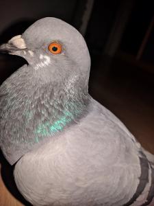 pigeon pudge