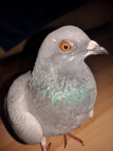 Single Pigeon | Photos and Images | Animals