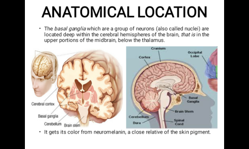 Second Additional product image for - Professional Powerpoint Presentation On The Basal Ganglia