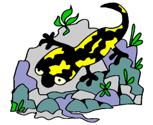 colored salamander illustration