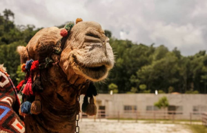 Camel | Photos and Images | Animals