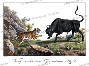 fight between a javanese tiger and a buffalo, java, j. schiess, 1829
