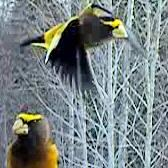 boreal winter birds