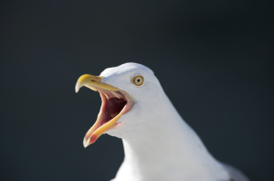 seagull | Photos and Images | Animals
