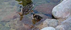 duck's
