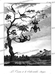 Saki-winki monkeys, Surinam, Tardieu L'ai^ne´, 1785   Photos and Images   Travel