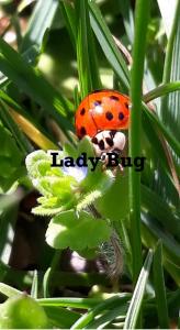 coccinella - ladybug & flower
