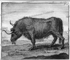 A Mongolian ox, Nicolaas Witsen, 1705 | Photos and Images | Travel