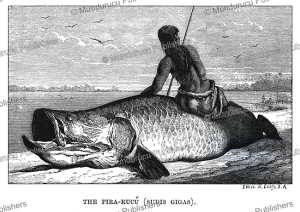 Pirarucu or arapaima fish of the Amazon, Franz Keller, 1874 | Photos and Images | Travel