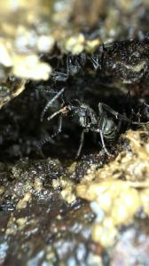 ?? black ant