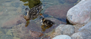 duck and duckling - d_wix_010