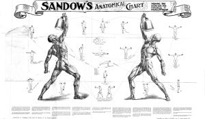 eugen sandow's anatomical chart