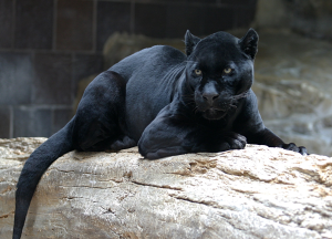 Black Panther | Photos and Images | Animals