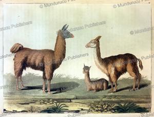 Lama, Alpaca and Vicuna of Peru, Vittorio Raineri, 1820 | Photos and Images | Travel