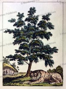 tiger of hindustan or india, gaetano zancon, 1815