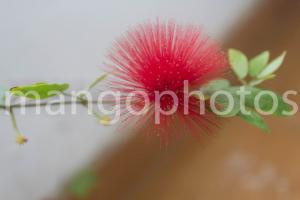 calliandra flower photo