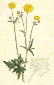 Oswald : Airs for the seasons - Ranunculus : Violin/Flute II   Music   Classical