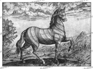 zebra from congo, theodoor de bry, 1609