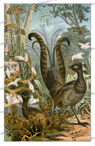 the lyrebird of australia, famous for its ability to mimic sounds, wilhelm sievers, 1895