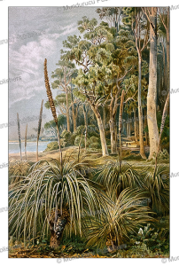 eucalyptus forest in west australia, ernst heijn, 1895