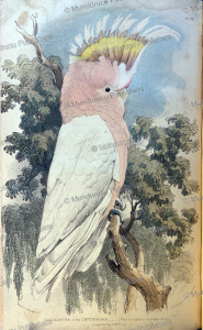 australian cockatoo, thomas mitchell, 1839