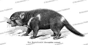 tasmanian devil of australia, wilhelm sievers, 1895