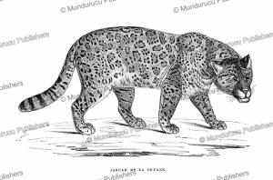 a jaguar, french guiana, e´douard riou, 1867