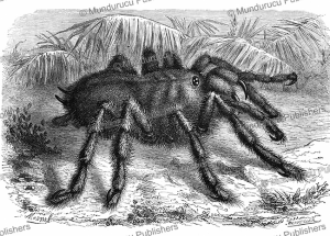crab-spider, french guiana, mesnel, 1867