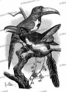 toucans in french guiana, rené valette, 1883
