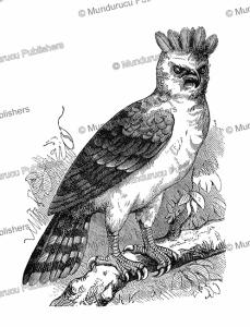 harpy eagle in french guiana, rené valette, 1883