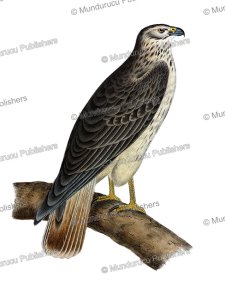 The Rough-legged Hawk, California, 1853 | Photos and Images | Digital Art
