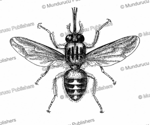 Tsetse fly (3 times enlarged), Central Africa | Photos and Images | Digital Art