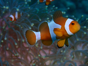 Clown Fish | Photos and Images | Animals