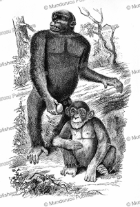 nshiego mbouve and young, identified by paul du chaillu which probably is a type of chimpanzee, gabon, 1861