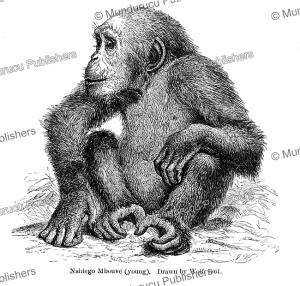 A young Nshiego Mbouve identified by Paul du Chaillu which probably is a type of Chimpanzee, D. Wolf, 1861 | Photos and Images | Digital Art