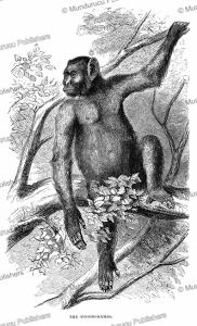 koolakamba (hybrid species of chimpanzees and gorillas), identified by paul du chaillu in gabon, 1861