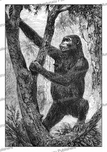 female gorilla in french congo (gabon), m. breton, 1875