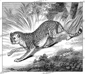Leopard, India, Jules Garnier, 1871 | Photos and Images | Digital Art