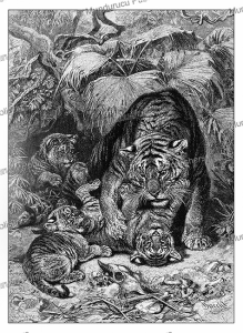 Tiger with young in India, Specht, 1892 | Photos and Images | Digital Art