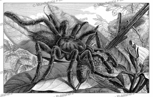 A tarantula in Colombia, real size, A. Cle´ment, 1883 | Photos and Images | Digital Art