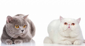 british shorthair kittens for sale | Crafting | Cross-Stitch | Other