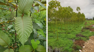 Growing Kratom Indoors | eBooks | Science
