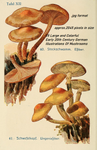 25 large botanical illustrations - mushrooms