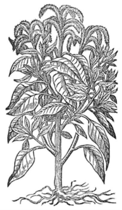 First Additional product image for - Vintage Black and White Herbal Illustrations