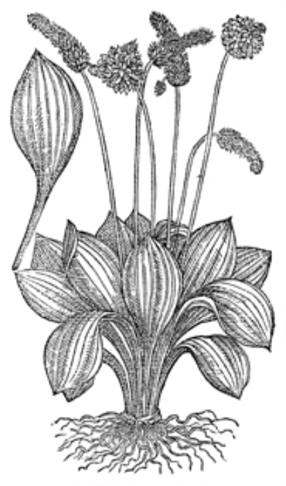 Third Additional product image for - Vintage Black and White Herbal Illustrations