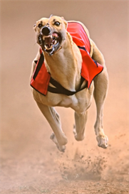 greyhound global betting plan